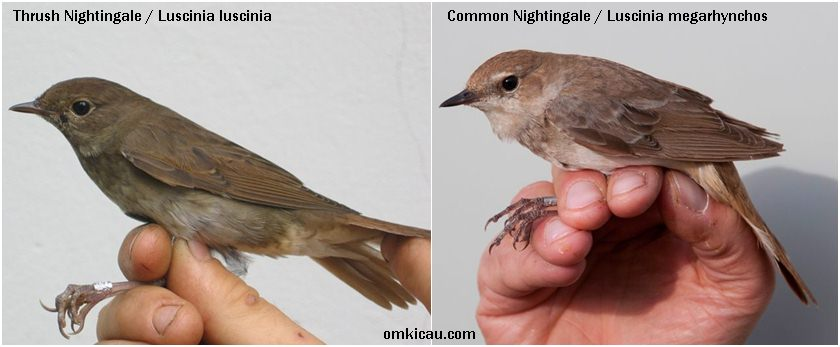 Perbedaan antara Thrush nightingale (kiri) dan Common nightingale