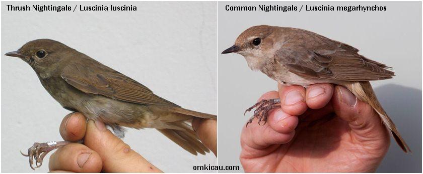 Perbedaan antara Thrush nightingale (kiri) dan Common nightingale