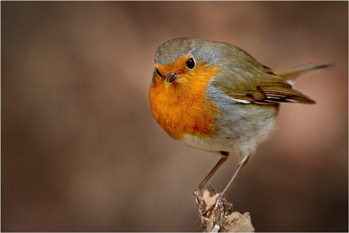 Robin eropa