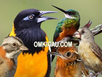 Koleksi 5 audio burung kicauan bersuara unik dari Amerika Selatan