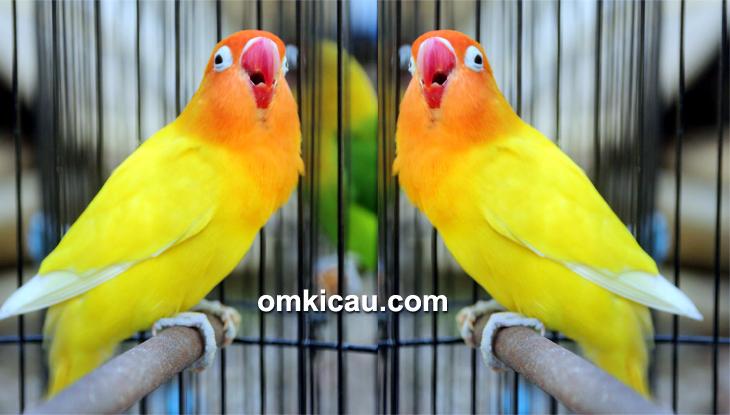 feat lovebird mustika