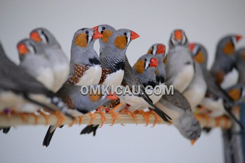 penangkaran burung finch