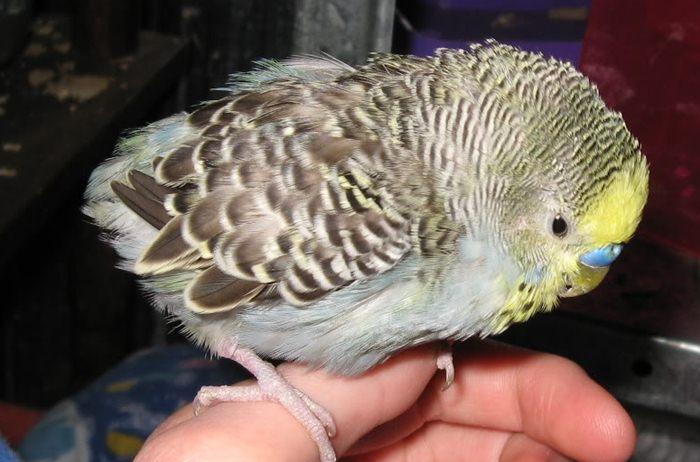 Burung parkit french molt