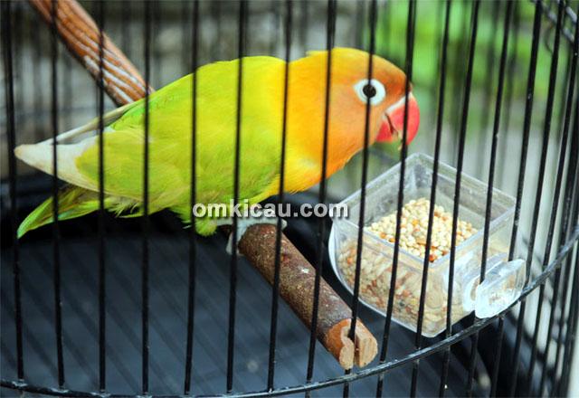 Lovebird SS