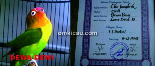 Lovebird Dewa-Dewi