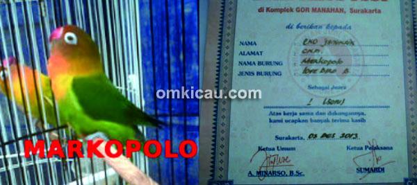Lovebird Marcopolo
