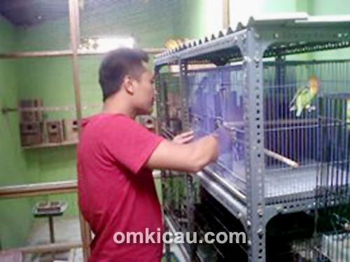 Ternak lovebird IP Bird Farm Pati