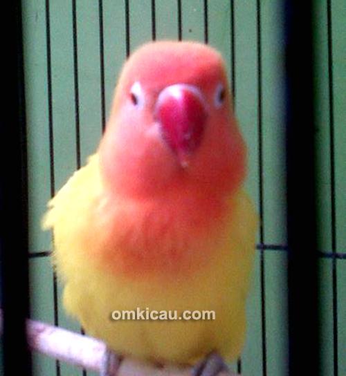 Lovebird Gadis