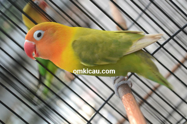 Lovebird Mahadewi in action