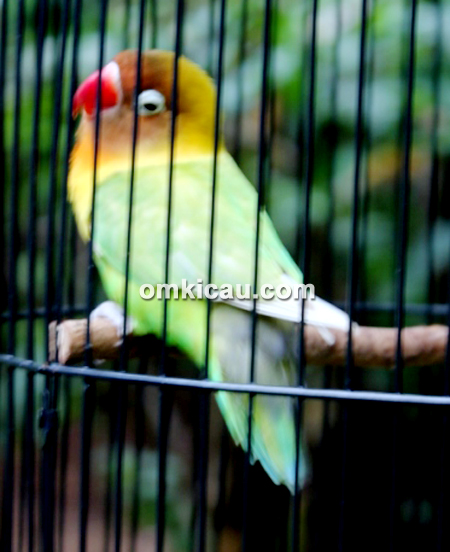 Lovebird Maya