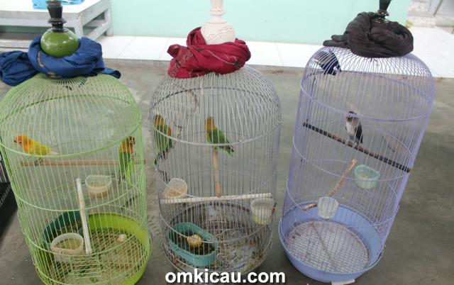 Perawatan burung lovebird muda