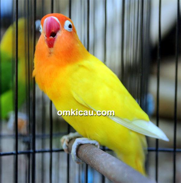 Lovebird Mustika