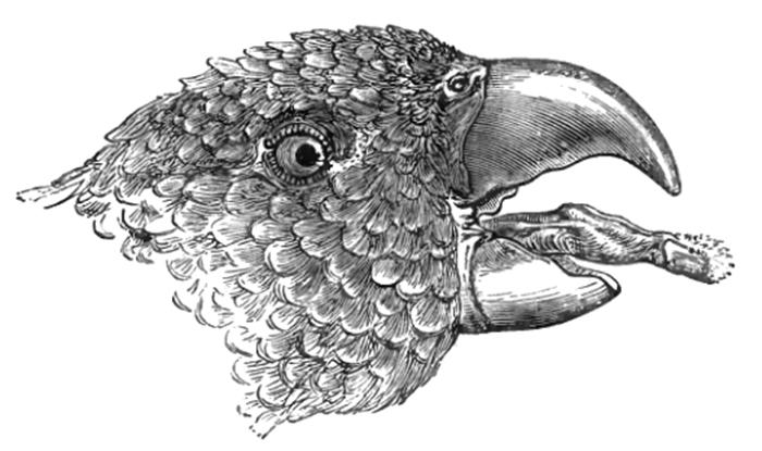 Lidah burung nuri