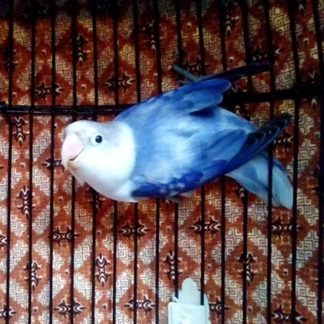 Foto Lovebird - Karya Adi Fuadi