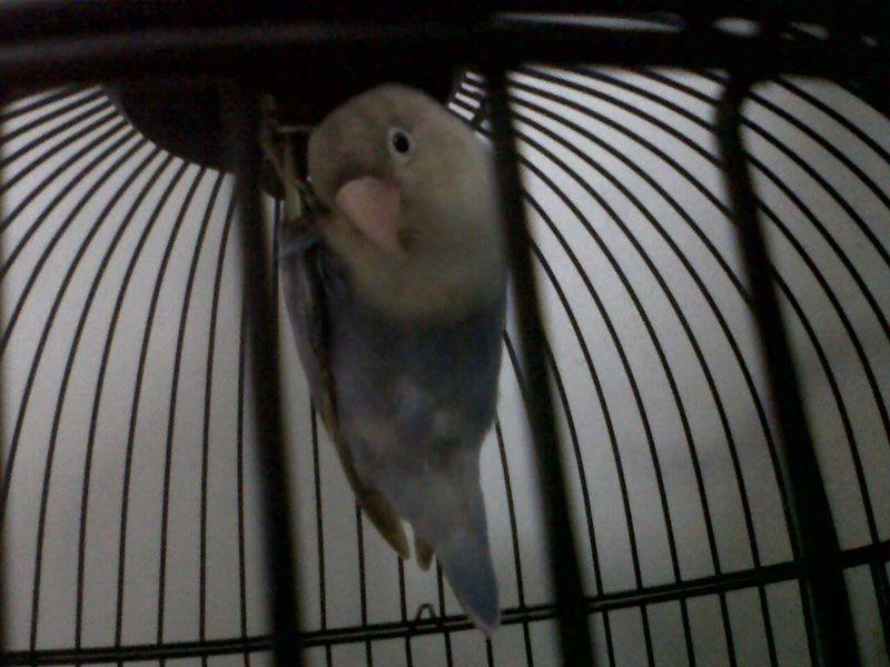 Foto Lovebird - Karya Andyo Haeri