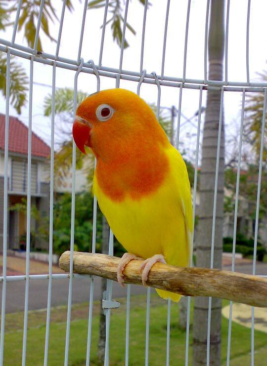 Foto Lovebird - Karya Mas Gimbul