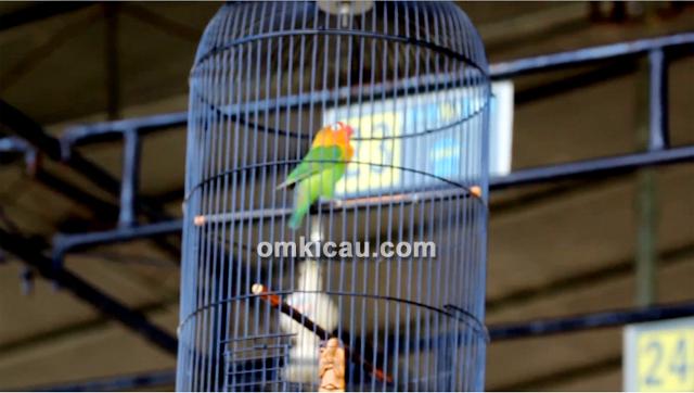 Lovebird Sri Ratu