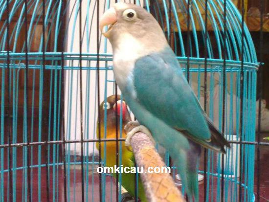 Lovebird Mawar Biru LMS Solo
