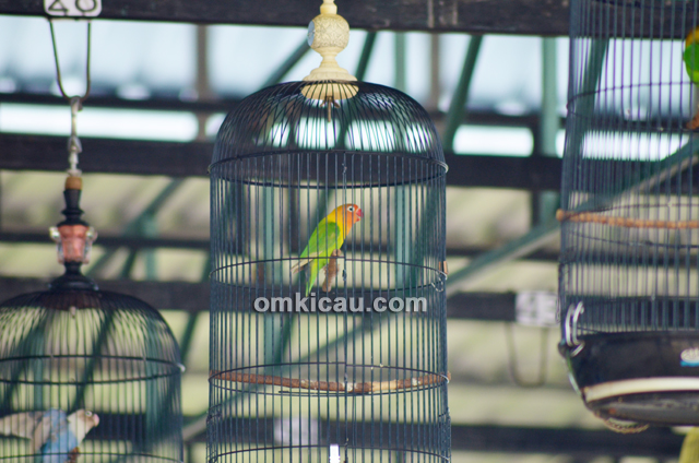Lovebird Arum