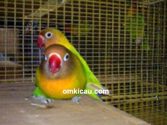 Breeding lovebird Eko LMS Solo