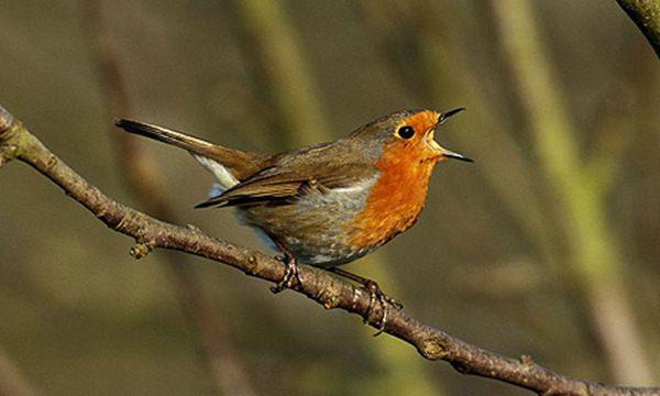 Burung robin eropa