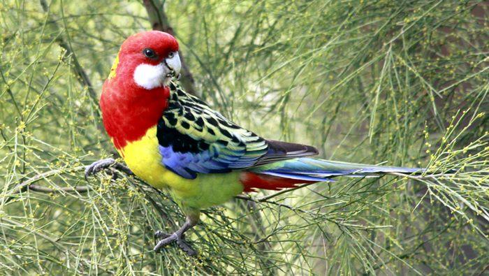 parkit rosella si cantik yang pintar bersiul klub burung