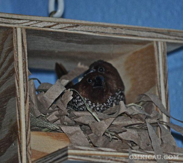 Breeding Spice Finch