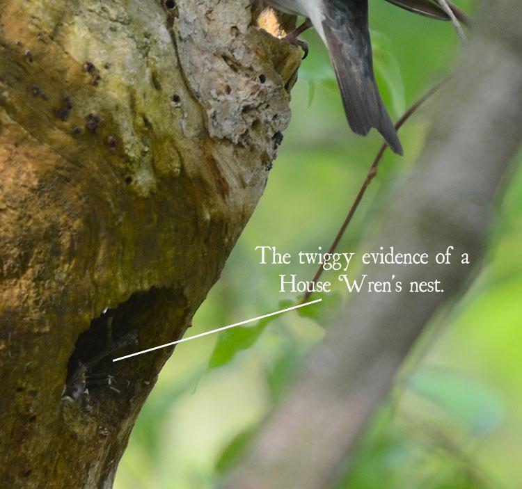 Sarang house wren