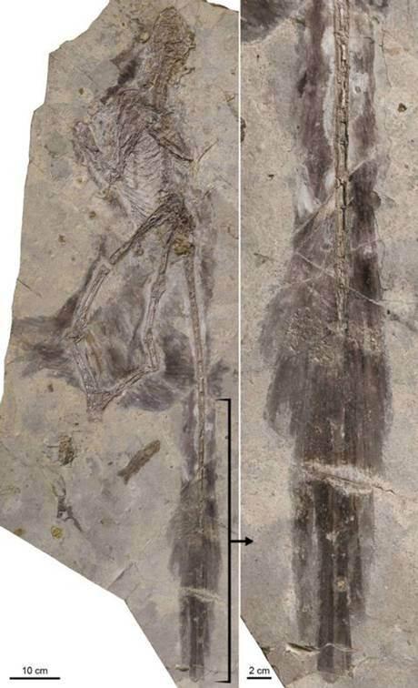 Sebuah citra baru rincian bulu ditemukan pada dinosaurus Changyuraptor