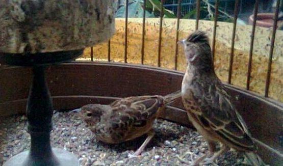 Beda jantan betina burung branjangan