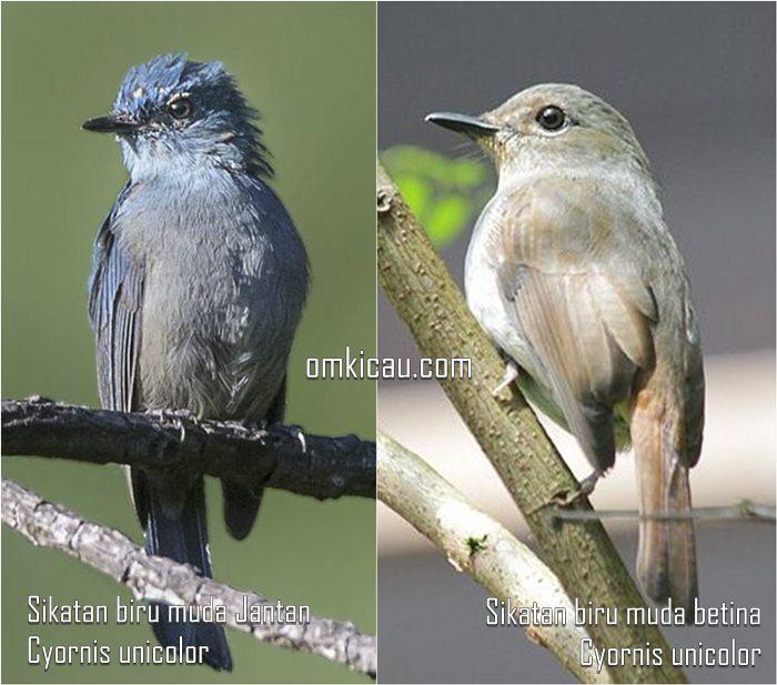Burung sikatan biru-muda jantan dan betina