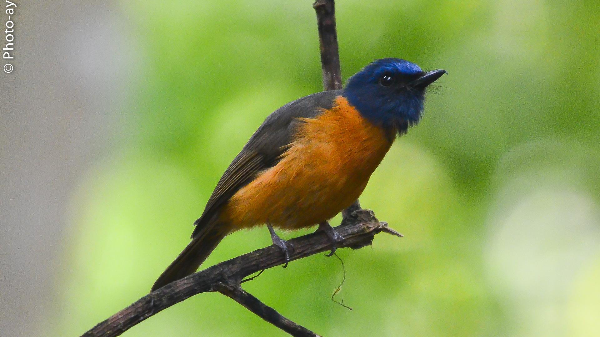 Burung sikatan dahi biru
