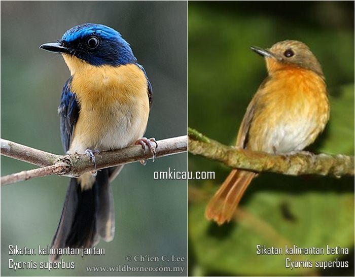 Burung sikatan kalimantan jantan dan betina