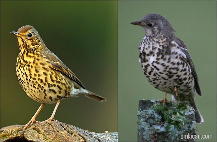 Song thrush (Turdus philomelos) dan Mistle Thrush (Turdus viscivorus)