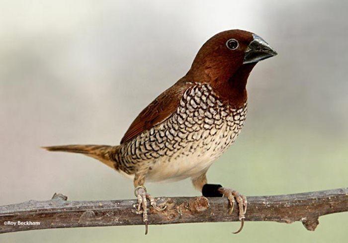 Burung bondol peking