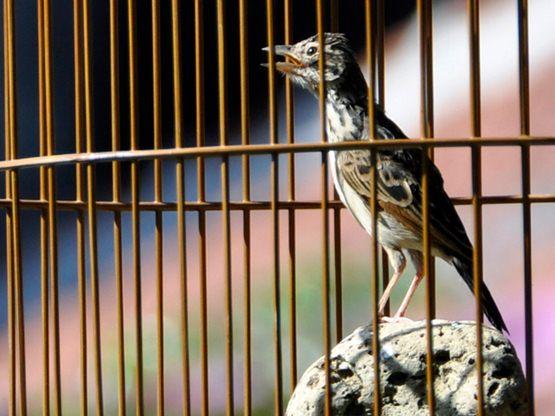 Burung branjangan jantan dan betina