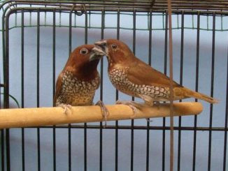 Beda jantan betina burung bondol peking
