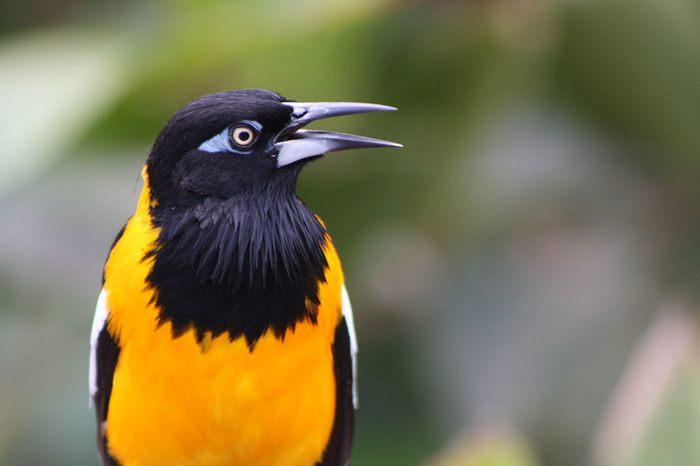 Burung troupial