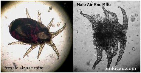 air sac mites