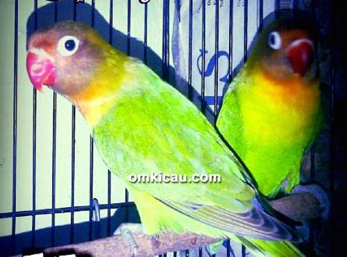 Breeding lovebird Black Pegasus BF Bekasi