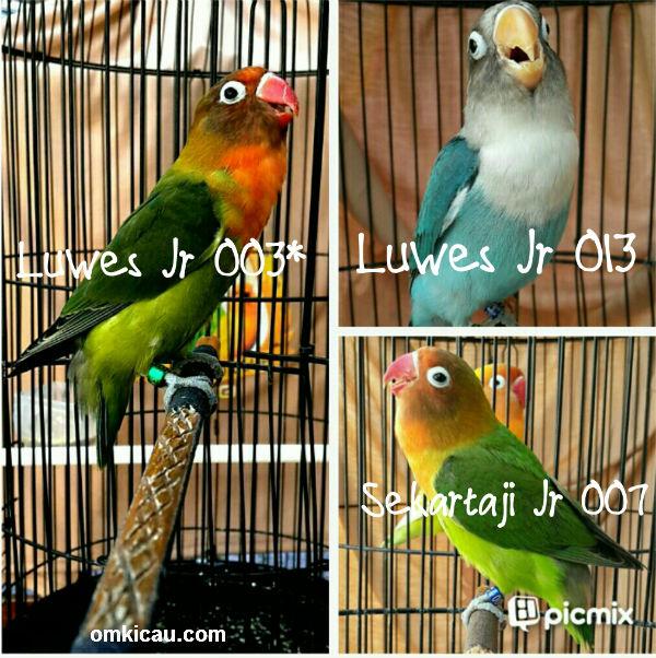 Anakan lovebird Luwes