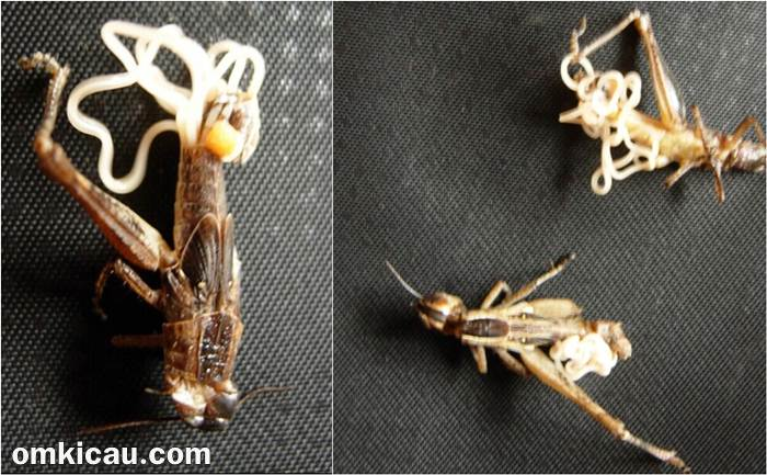Belalang yang telah terinfeksi cacing parasit