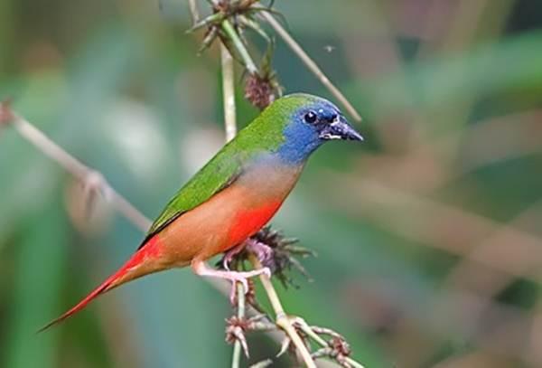 Bondol-hijau Binglis atau Pin-tailed Parrot-finch (Erythrura prasina)