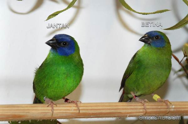Bondol-hijau Muka-biru atau Blue-faced Parrot-finch (Erythrura trichroa)