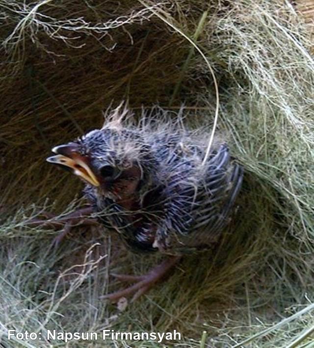 Menangkar burung branjangan