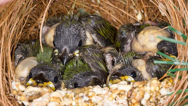 parrotfinch breeding