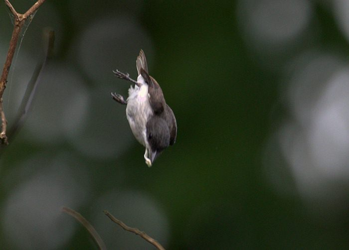 Gaya berburu burung jingjing batu