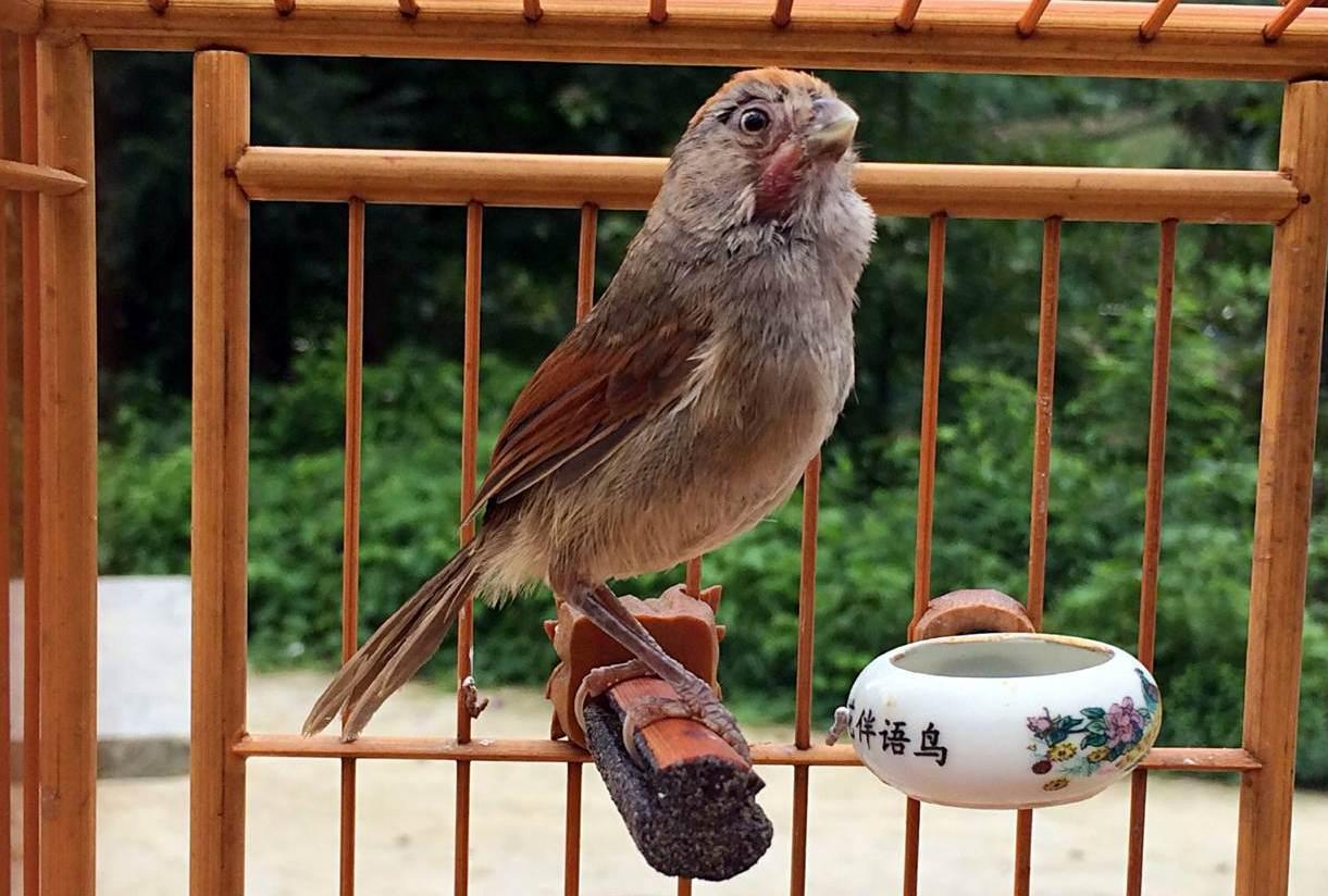 Burung huang teng yang popular diChina sebagai burung kicauan dan burung aduan