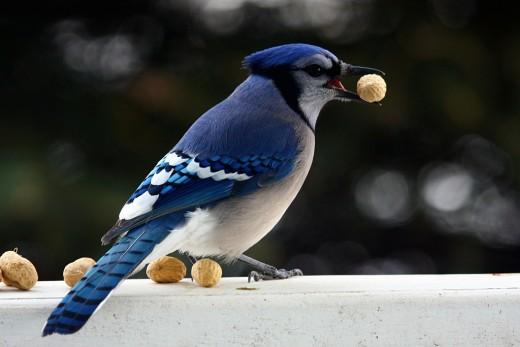 Burung makan kacang