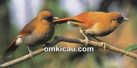 Download kicauan burung samho